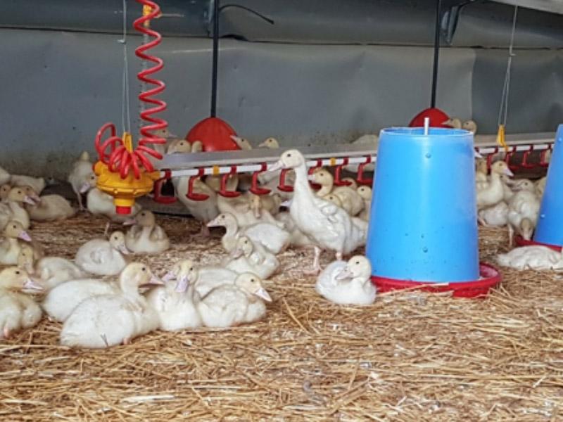Organic Duck