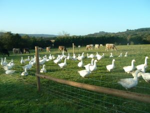 Organic Geese